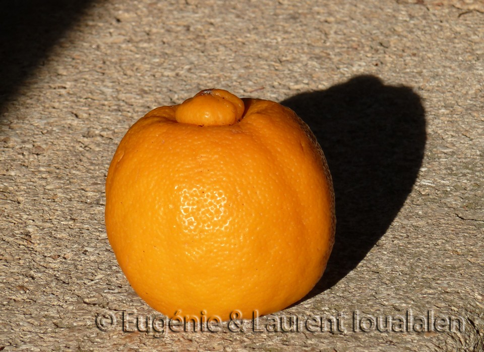 Le citron bergamote